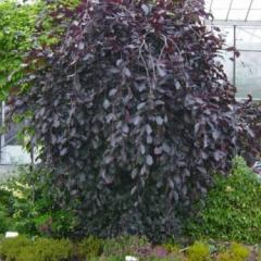 Fagus-sylvatica-Purpurea-Pendula beeches
