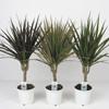Драцена marginata - 1 ствол ( Dracaena marginata -