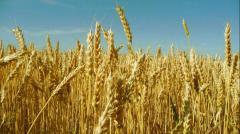 Wheat 3rd class of soft grades of an origin