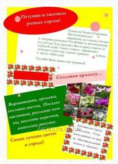 Annual flowers of Petunia