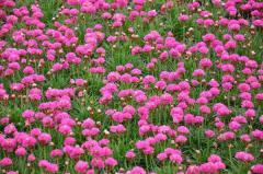 Saplings of Armeria maritima colors