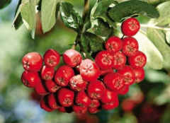 Mountain ash red ordinary