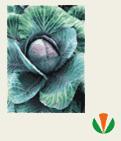 Капуста краснокачанная (Семена) сорта: Зелокс F1