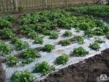 Пленка для выращивания арбузов, пленка для арбузов