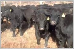 Скот крупный рогатый племенной Абердин-Ангус