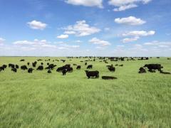 Племенной крупно-рогатый скот породы Абердин Ангус
