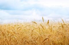 Пшеница оптом 3,4 класса
