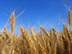 Wheat 4th class
