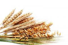 Barley for expor