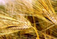 Wheat of the first class, wheat, Wheat of the