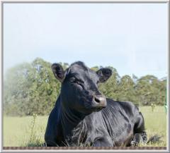 Племенные быки породы Абердин-Ангус
