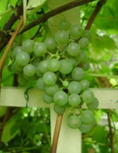 Виноград Фетяска