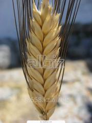 Wheat a fodder 1 class - expor