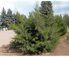 Evergreen bushes: juniper, prive