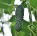 Семена огурцов Меренга F1