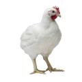 Инкубационное яйцо бройлер КОБ 500