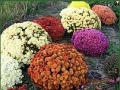 Ornamental plants for gardening
