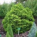 Ель Picea abies Pygmaea