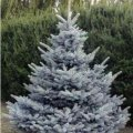 Ель Picea pungens Blue Diamond