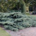 Можжевельник Juniperus virg. Grey Owl