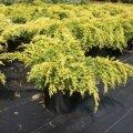 Можжевельник Juniperus pfitceriana Gold Star