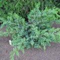 Можжевельник Juniperus squamata Blue Spider
