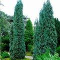 Можжевельник Juniperus scopulorum Moonglow