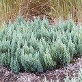Можжевельник Juniperus horizontalis Blue Forest