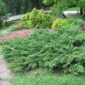 Можжевельник Juniperus x pfitzeriana Mathot