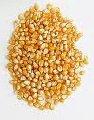 Семена гибрида кукурузы Молдавский-257СВ (ФАО 210)