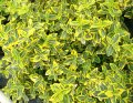 Forchun's euonymus of 'EMERALD'N GOLD'