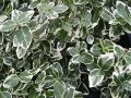 Forchun's euonymus of 'EMERALD GAIETY'