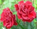 Роза 'BONICA' флорибунда роз махр