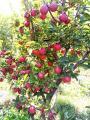 Яблони крупномеры плодоносящие деревья Алматы