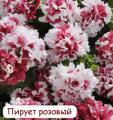 Рассада крупных цветов петунии