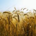 Barley fodder