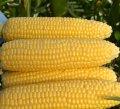 Семена кукурузы Кандайз F1 / Candice F1