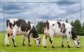 Концентраты для дойных коров
