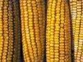 Кукуруза. Сорт-Молдавская 257