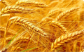 Пшеница яровая мягкая Злата