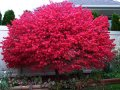 The euonymus is winged