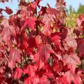 Maple red 'RED SUNSET'