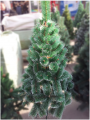 Artificial FIR-TREE from the producer