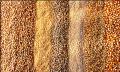 Семена масличных культур на экспорт
