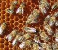 Пчелосемья и пчелопакет 2017г