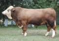 Семя быков производителей