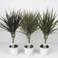 Драцена marginata - 1 ствол ( Dracaena marginata - 1 ствол )