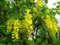 Саженцы акации желтой питомник PLANTS