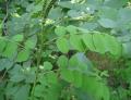 Саженцы аморфы кустарниковой  в питомнике PLANTS