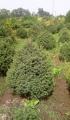 Ель зеленая тянь-шанская